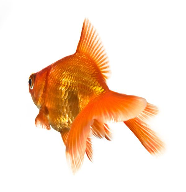 Goldfish Care 101: How to Keep a Pet Goldfish