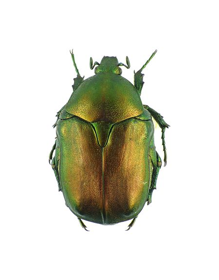 Netoria armenica rosae, taken 12th July 1982 at Lake Sevan, Gegharkunik province, Armenia.  Pictorial beetle collection of the Royal Belgian Institute of Natural Sciences