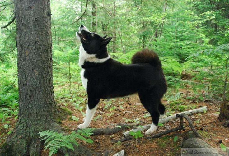 Cão de ursos da Carélia