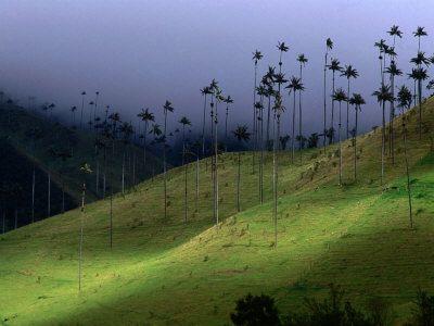 Salento, Colombia  http://cache2.allpostersimages.com/p/LRG/20/2097/GCP2D00Z/posters/dydynski-krzysztof-the-colombian-national-tree-palma-de-cera-armenia-colombia.jpg