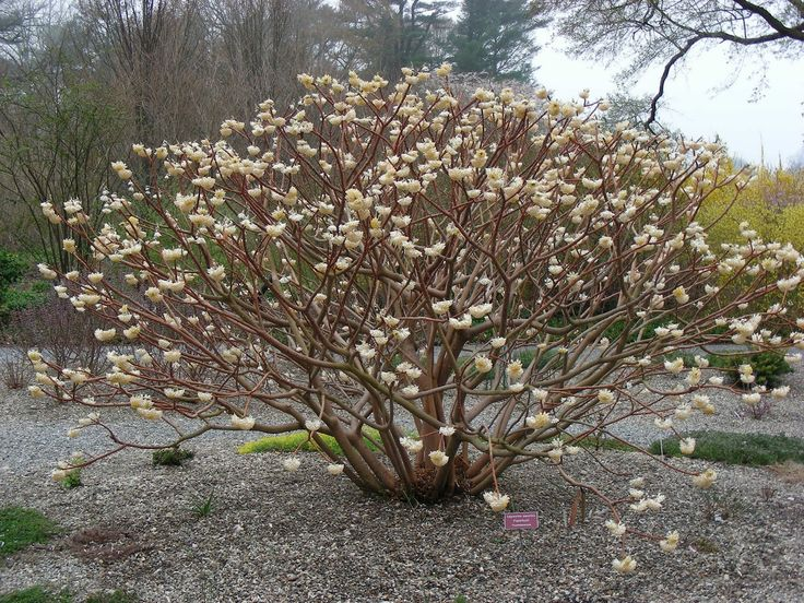 17 best ideas about edgeworthia chrysantha on pinterest for Edgeworthia chrysantha