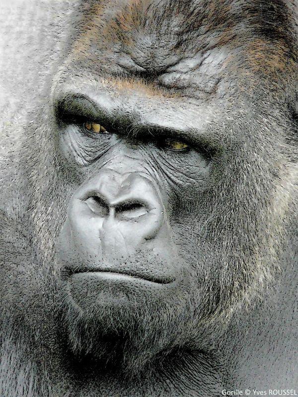 Gorille © Yves ROUSSEL