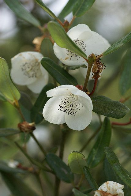 Eucryphia lucida, commonly known as Leatherwood is a species of trees or large shrubs endemic to forests of Western Tasmania. It is widespread and common in moister forests in Tasmania, occuring mainly across the western parts of the state, from the northwest in such places as the Tarkine and through the south west wilderness