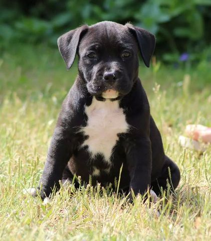 Jaafar, American Staffordshire Terrier
