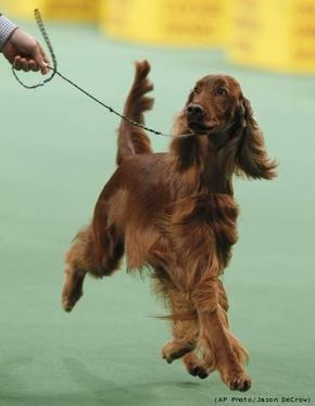 Westminster Dog Show Best in Show | Fuzzy Today