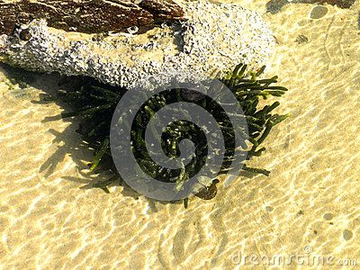 A close-up view of green marine algae in a rock pool at low tide.