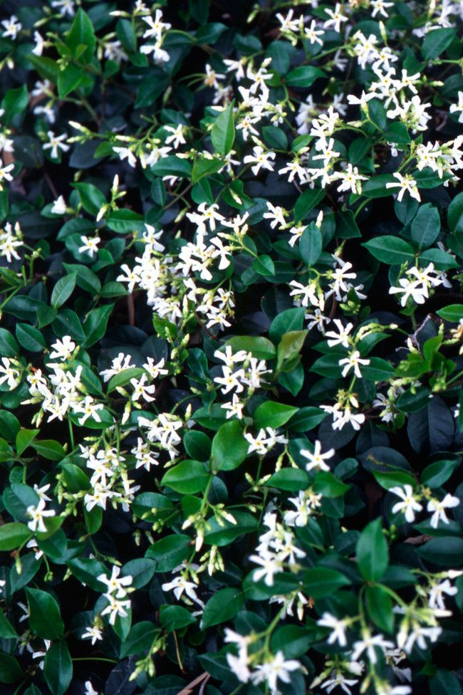 10 plants you can't kill  image 10. Star Jasmine   The versaitility of Star Jasmine makes it an unkillable winner – ground cover, climber, spreading bush or indoor plant. The fragrant flowers appear in summer. They're not fussy about soil type or aspect – doing well in sun or shade.