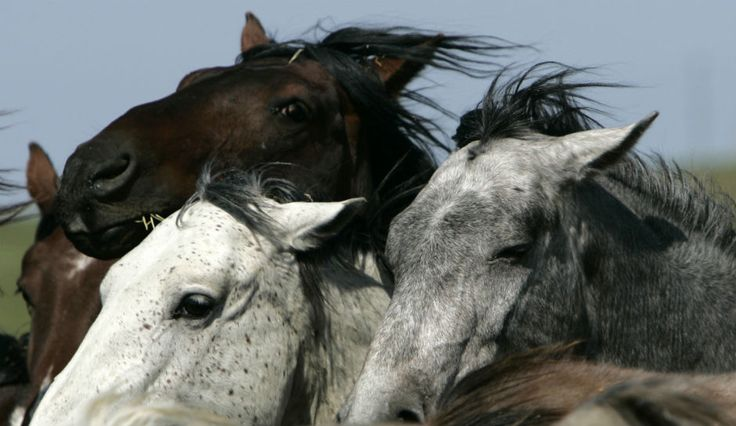 SOS!!!!!!!!!!!  More Than 30 Wild Horses Die of Starvation on South Dakota Ranch - This is  a CALL TO HELP the 600 surviving horses!  A coalition of wild horse and burro sanctuaries has been created for this emergency! PLEASE DONATE and/or SHARE WIDELY!  Thank you!  http://wildhorsesanctuaryalliance.org/