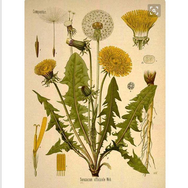 Ввиду нашего нового задания я хочу показать классическую научную ботаническую иллюстрацию. На примере вот этого супер одуванчика с пинтереста. Что мы тут видим? Во первых это не конкретный одуван, а упрощенный собирательный образ. Он даже покрашен практически 4-5 цветами. Тут нет живописности, зато есть четкий рисунок и объем на листьях. На иллюстрации есть вид растения в целом и его составные части. Цветы на всех стадиях развития: бутон, раскрытый, увядающий и с семенами. Даже есть…