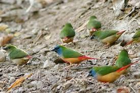 Hasil gambar untuk jual burung finch