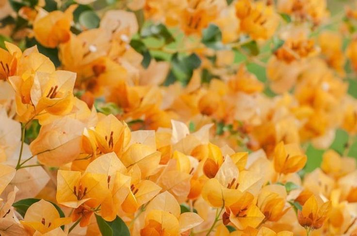 Bougainvillea California Gold, California Gold Bougainvillea, Orange Bougainvillea, Evergreen Shrub, Yellow Bougainvillea