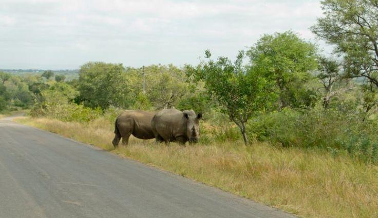 Noshörningar i Kruger National Park #Cape #Town #Kapstaden #South #Africa #Sydafrika #Travel #Resa #Resmål #Afrika #Vacation #Semester #Adventure #Äventyr #Nöshörning #Safari #National #Park #Kruger