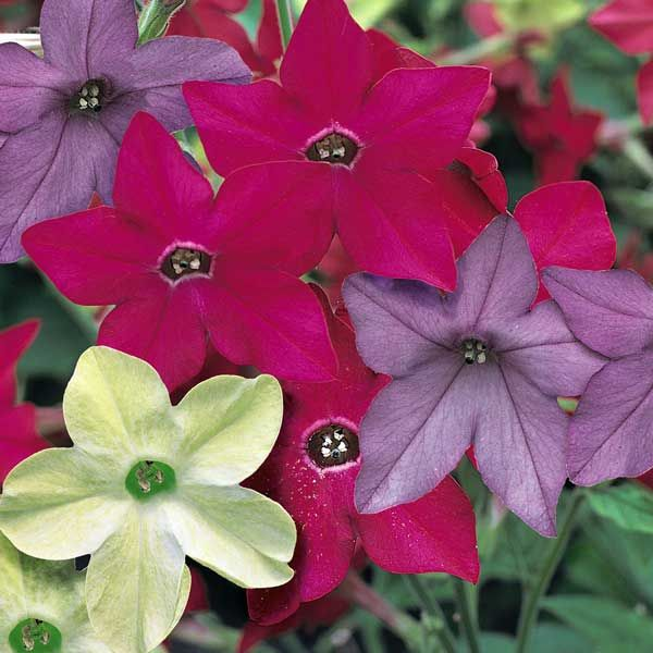 Nicotiana Perfume Mix - Annual Flower Seeds