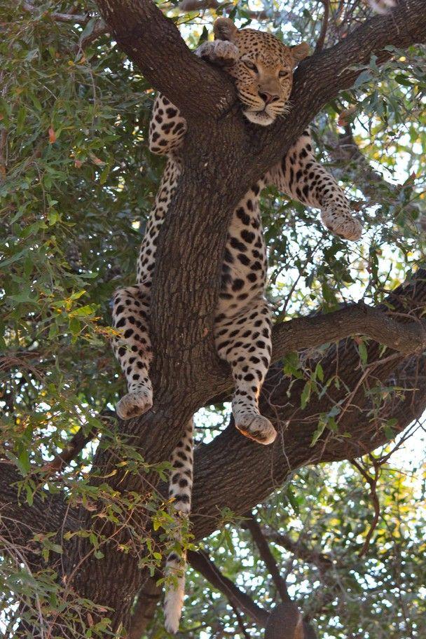 leopard sleeps in tree