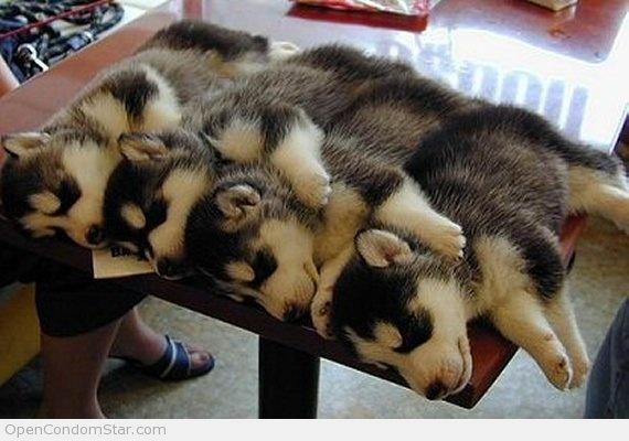 Husky Quadruplets
