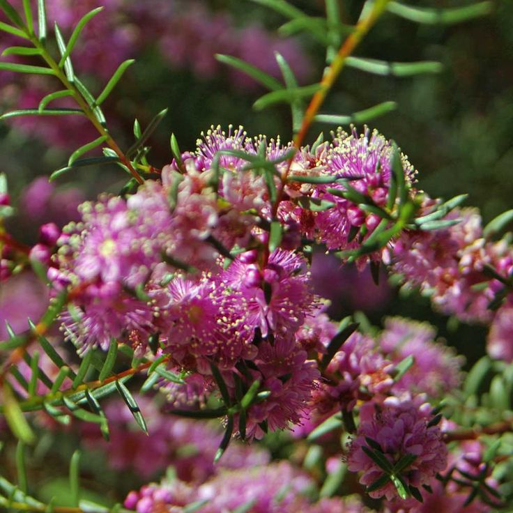 Hypocalymma robustum (Swan River Myrtle) Size 1.0m Colour pink Flowers July – October Best seasons Spring, Winter Description Small multi stemmed shrub to 1m, pink/purple flowers July to October.