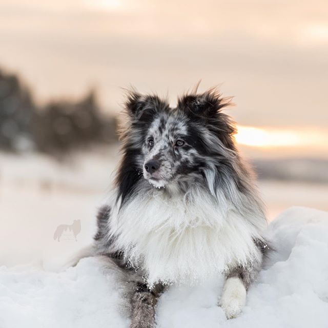 Majority of you (51% to be exact) wanted the sunrise photo for today 💛 Maybe derpy Kovu will be up tomorrow?🤔  .  .  .  #sheltiesofinstagram #sheltie #norway #teamcanon #biblue #bluemerle #canon #tamron #dogsofinstagram #winter #snow #hundinorge #bestwoof #bi #blue