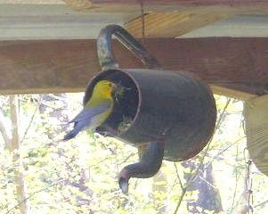 Chaleira velho reaproveitado como alimentador de pássaros