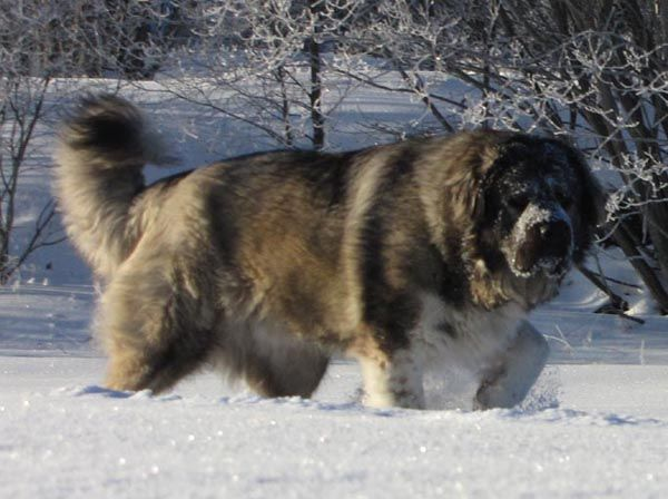 caucasian ovcharka | Dogs | Pinterest