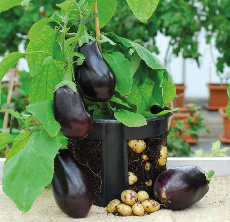 It's a Twofer! Eggplants and Potatoes in One Plant - Modern  Farmer Food efficiency; ag-productivity; yield; agtech; permaculture; eggplant; potatoes; small-scale gardening
