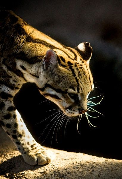 The ocelot, also known as the dwarf leopard, is a wild cat distributed extensively over South America including the islands of Trinidad and Margarita, Central America, and Mexico. It has been reported as far north as Texas