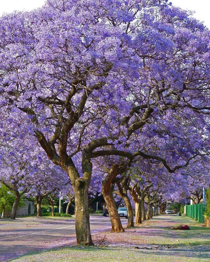 Kitabı, çayı alıp bahçeye davet eden bir ağaç 'Jacaranda mimosifolia ' eğer bir ağaç olsaydım kesin bu ağaca aşık olurdum mor mor �� . Neyse bende sadece yaygın kullanım ile ününe ün katarım dağın  zirvesinde  bulunan ' 6000m2 Doruk Konsept Evleri '  Yoldan geçerken sanki bir morluk var orada diye sizi çağırabilir . ___________________________________________________________  #jardindenini #bahçeleri #beautiful #arsuz #blooms #tropical #botanical #gardendesing #floral #bahçe #flower #garden…
