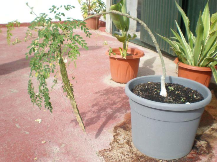 🌿 Der Botenstoff Zeatin ist in Moringa besonders hoch dosiert enthalten. Er hat die Fähigkeit, unsere Zellen zu verjüngen. © MoringaEthik.com