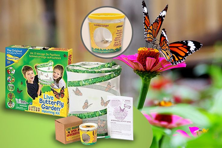 Live Butterfly Hatching Kit