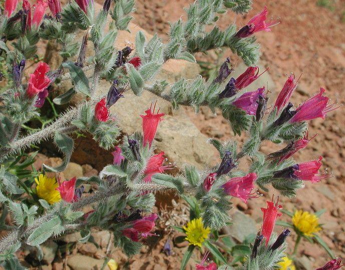 Echium angustifolium-Daday