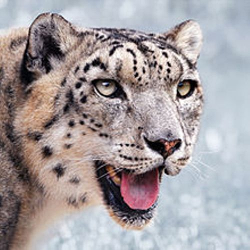 If you want to learn more about snow leopard facts, you need to read the whole explanation below. The information about snow leopard is important for your kids for they will know more about various animals in the world. Let's see the interesting facts about snow