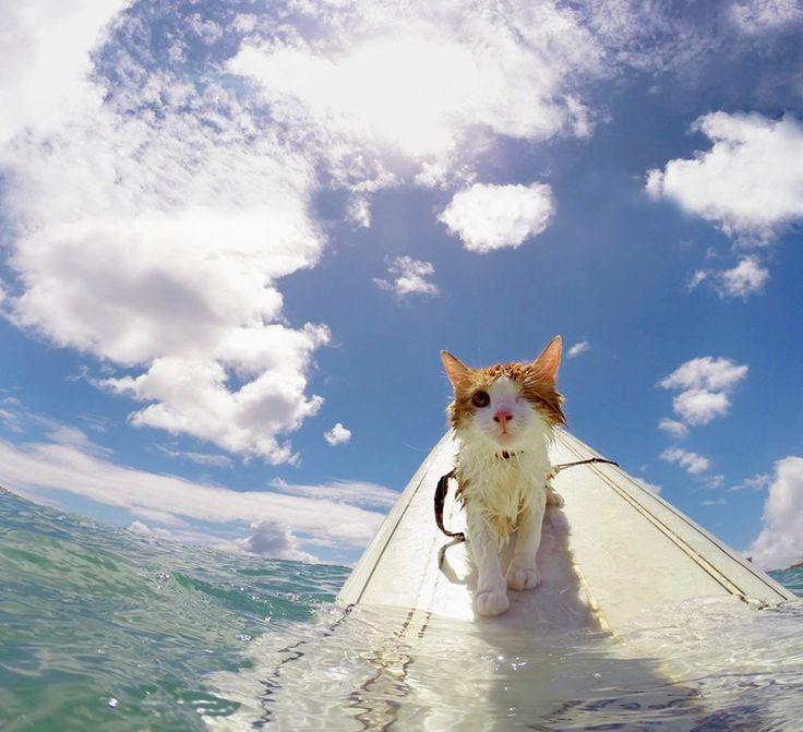 Kuli le chat à un œil qui surfe sur les vagues d'Hawaï