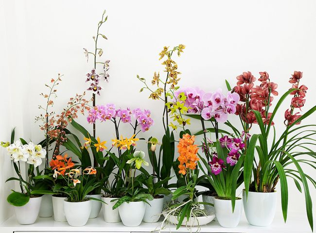 Quels soins pour les phalaenopsis, dendrobium, vanda, miltonia, cambria, oncidium, paphiopedilum et cymbidium ? Les conseils de Rustica pour des orchidées su...
