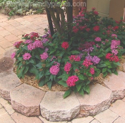 13 best gardening images on pinterest landscaping beautiful pentas plants for hummingbirds mightylinksfo