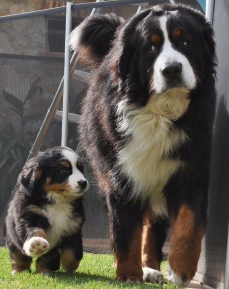Bernese Mountain Dog, Must you follow so closely little guy?