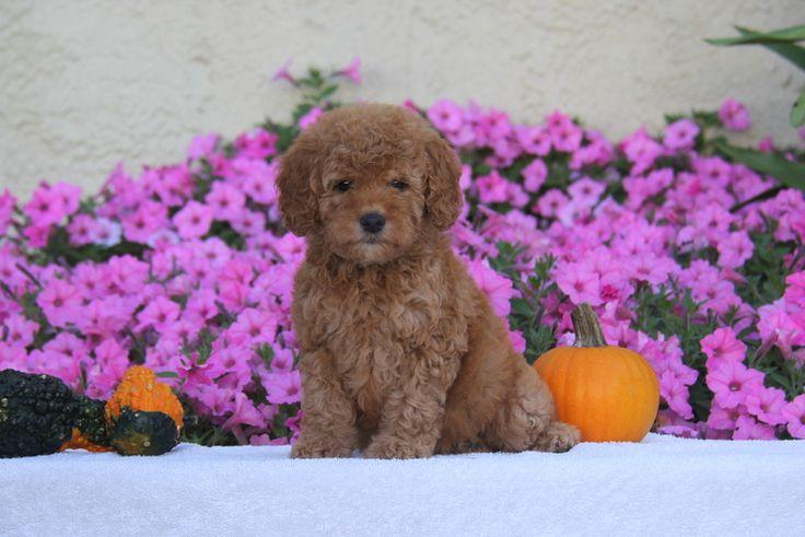 Janet, Goldendoodle-Miniature Puppy