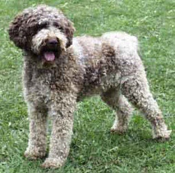 Lagotto Romagnolo / Romagna Water Dog / Water Dog of
