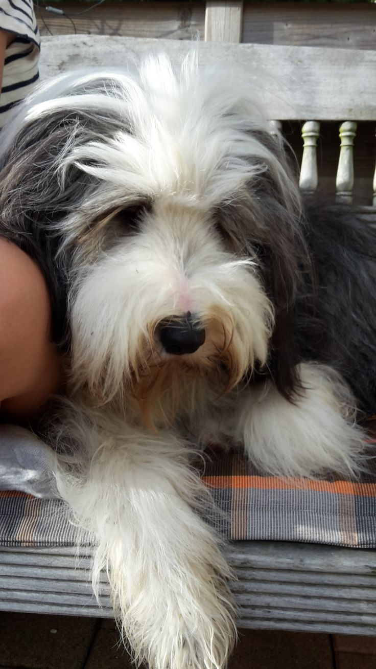 Bearded Collie …