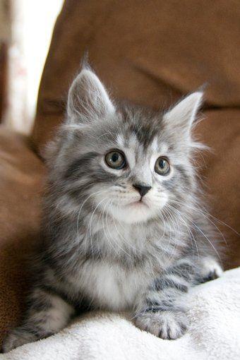 CUTE MAINE COON KITTEN! WANTS CUTE Pinterest