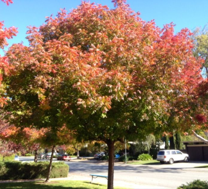 Best 25 drought tolerant trees ideas on pinterest for Drought tolerant trees