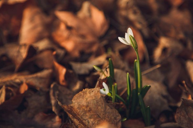 Lonely snowdrop