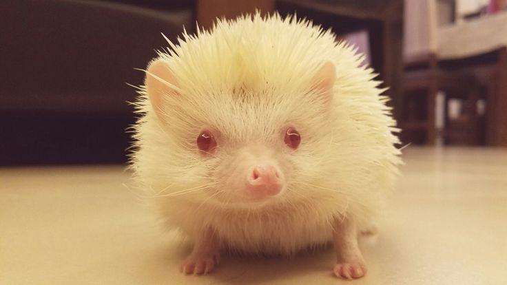 My albino hedgehog Greghttps://i.redd.it/pgqupijtqpcy.jpg