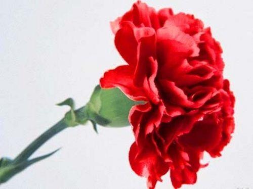 red carnation flower - Pesquisa Google