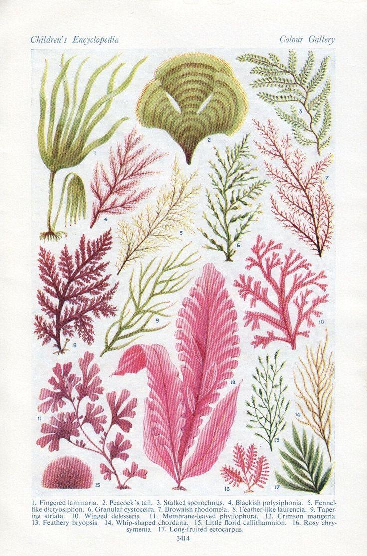 vintage ALGAE Sea weed print sea plants ocean beach decor bedroom decor. $14.95, via Etsy.