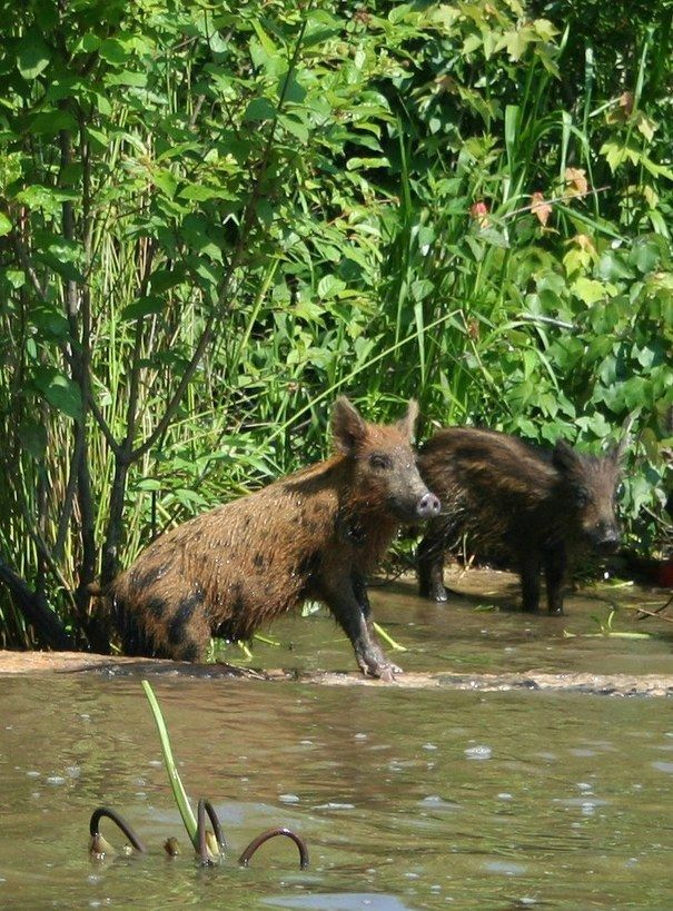 1000 images about life boar pig swine hog on pinterest - How do you make wild animal in little alchemy ...