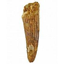 Spinosaurus tand