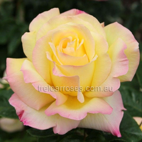 Climbing Peace - Treloar Roses - Premium Roses For Australian Gardens Vigorous sport of the well known and popular 'Peace'. Double yellow, flushed pink blooms. Repeat flowering.