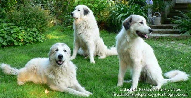 Listado de Razas de Perros y Gatos. Todos los tipos...: Raza Perro de Montaña de los Pirineos (Pyrenean Mo...