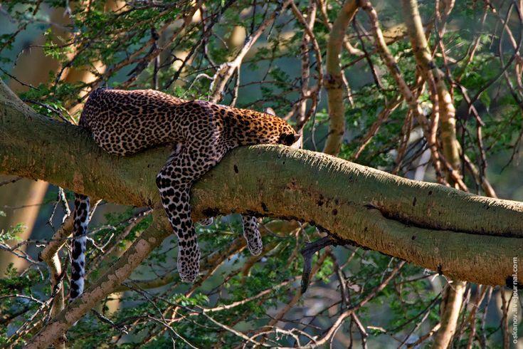 Леопард, спящий на дереве