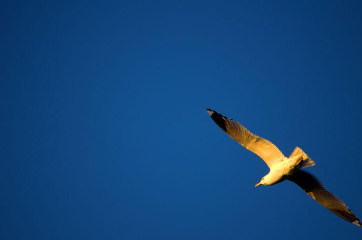 Larus Canus, Common Gull, Kalalokki. 23rd May Finland. 300mm hand held and focused. Nikon kit zoom.