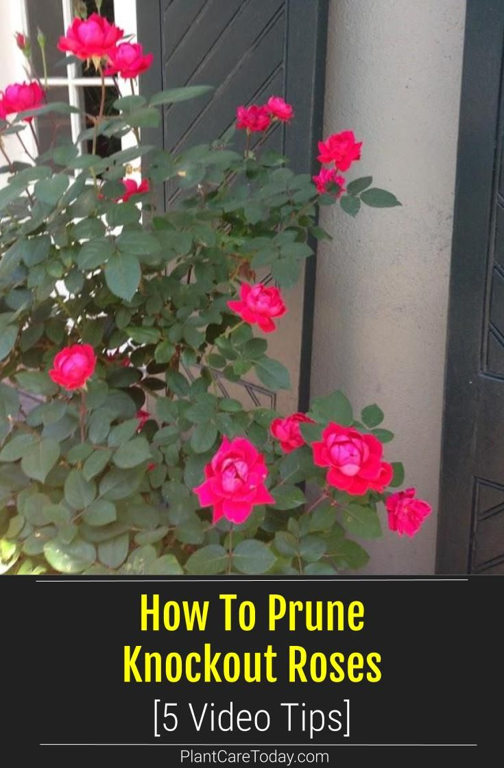 How To Prune Knockout Roses 5 Video Tips Knockout Roses Pruning Knockout Roses Prune
